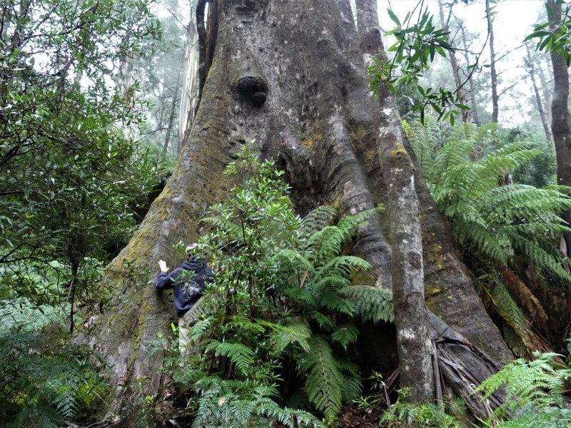 Victorian Government Backflips on Old Growth Logging Ban
